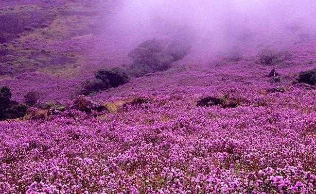Neelakurinji Blooming Season Best Time To Visit Munnar Kerala - Sakshi