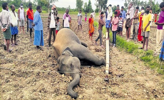 Elephant killed by electric shock - Sakshi