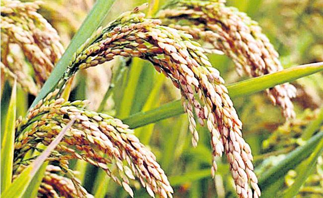 Agriculture Department Releases Kharif Crops Cultivation Plan In Telangana - Sakshi