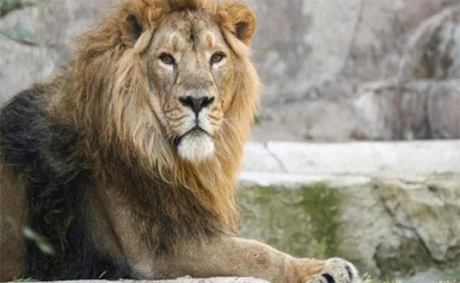 Another Lion Dies In Chennai zoo Due To Covid - Sakshi