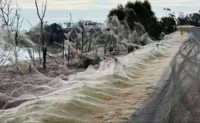 Australia: Giant Spiderwebs Blanket Grassland After Flooding - Sakshi