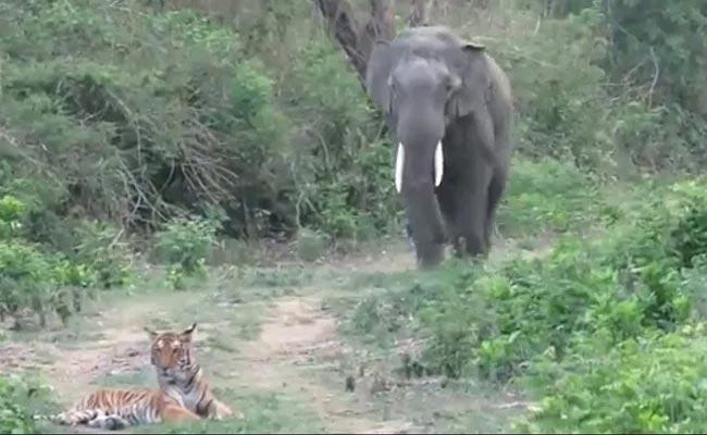 Elephant Comes Across Tiger While Walking In The Forest - Sakshi