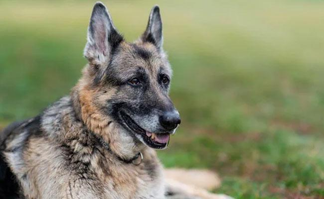 US President Joe Biden German Shepherd Dog Champ Deceased - Sakshi