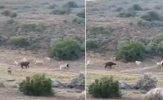 Buffalo Saved Calf On Lions Attack Video Viral - Sakshi