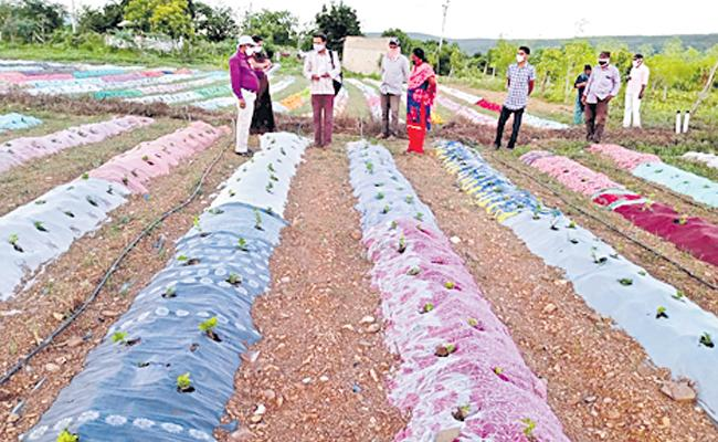 Natural Farming Mulching With Cotton Sarees Instead Of Plastic Covers - Sakshi