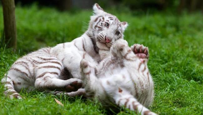 Arjuna The White Tiger at Bellary Zoo Now Adopted by Rahul Gandhi - Sakshi