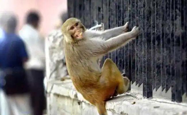 Monkeys Steal Womans Jewellery In Medak - Sakshi