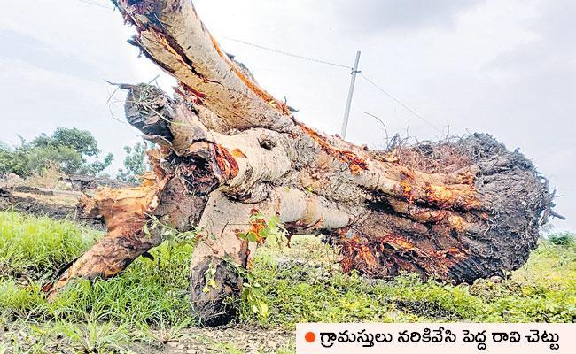 Replanting Cut Tree: Sangareddy Man Gnaneswar Replant RaviChettu - Sakshi