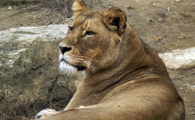 Lioness Passes Away Due To Corona In Chennai Zoo - Sakshi