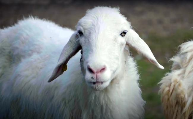 Sheep Escaped Panic Oxfordshire County In England - Sakshi
