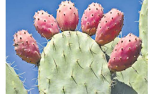Brahmajemudu: Opuntia Ficus Indica, Prickly Pear Fruit Bar, Juice, Uses in Telugu - Sakshi
