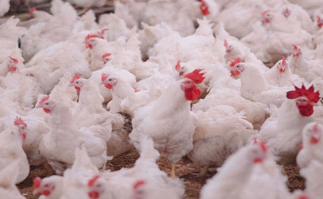 Hyderabad: Chicken Prices Increases Continuously Due To Pent Up Demand - Sakshi