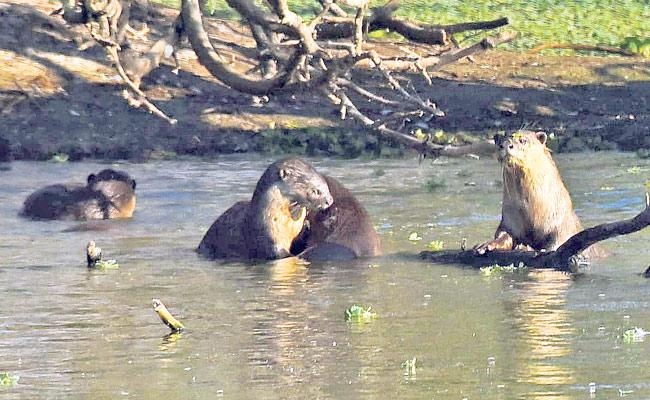 Uppalapadu Bird Sanctuary: Otter Water Dogs But Poses Danger To Birds - Sakshi