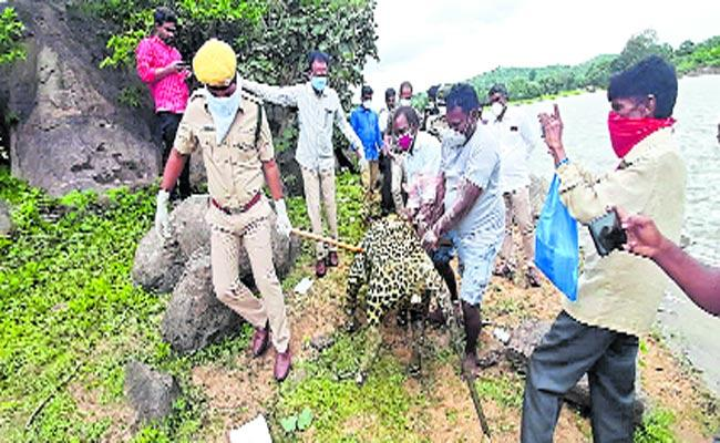 Leopard Fell Into Pond And Died - Sakshi