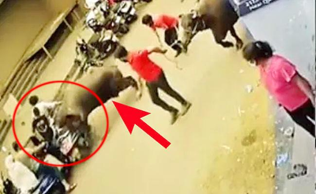 Buffalo Attacked On Couple At Pune - Sakshi
