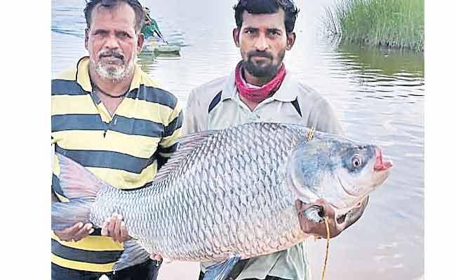 Fisherman Catches 30kgs Fish In Nalgonda District - Sakshi