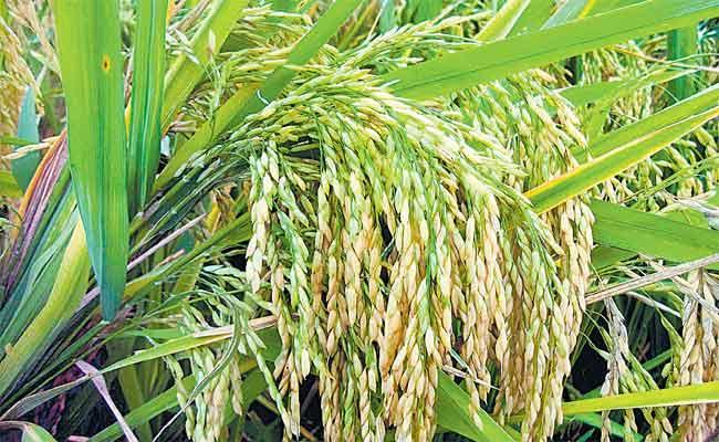 Devinder Sharma Guest Column On Organic Crop Cultivation in Sri Lanka - Sakshi