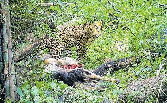 Two Goats Killed In Leopard Attack At Nirmal District - Sakshi