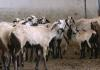 Telangana Sheep Distribution Scheme Negligence - Sakshi